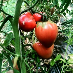 Tomatensamen VAL Sorte aus Slowenien 2 - 2