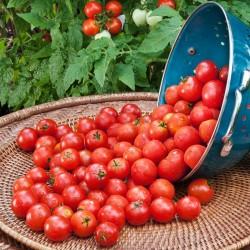 Paradiso Midi Rispen tomatfrön 1.85 - 2