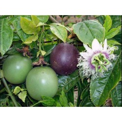 Passiflora Edulis Passion Flower-Passion Fruit Seeds 3 - 4