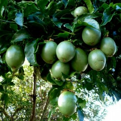 Страстоцвет съедобный, мараку́йя семена (Passiflora edulis) 3 - 2