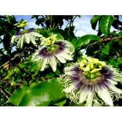 Passiflora Edulis Passion Flower-Passion Fruit Seeds 3 - 3
