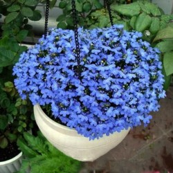 Flerårig lin, blå lin, ludd frön (Linum perenne) 2.95 - 1