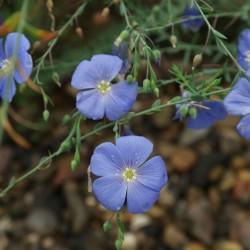 Linum perenne, Perennial Flax, Blue Flax Seeds 2.95 - 2