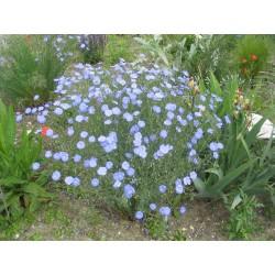 Linum perenne, Perennial Flax, Blue Flax Seeds 2.95 - 3