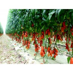 Σπόροι Ντομάτα Napoli 1.85 - 3