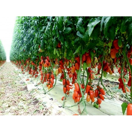 Graines de tomate Napoli 1.85 - 3