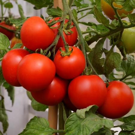Red Cherry Tomato Seeds 1.95 - 2