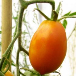 Orange Banana Tomate Samen 1.85 - 2