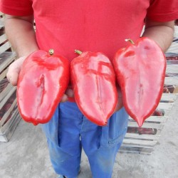 1100+ Seeds Giant Sweet Pepper Elephant's Ear 13 - 1