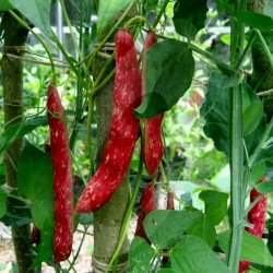 Borlotto Lingua Di Fuoco Nano Bean Seeds (Bush) 2.25 - 2