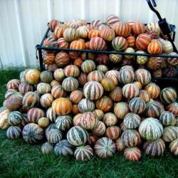 Exklusive Seltene KAJARI Melone Samen 2.25 - 1
