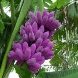 Seme Burmanske Plave Banane (Musa itinerans) 3.05 - 1