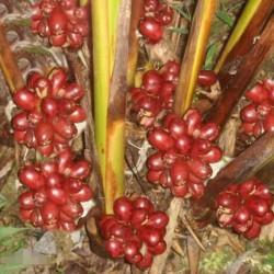 Semillas Jinguenga, fruta del cielo (Aframomum alboviolaceum) 3.45 - 4
