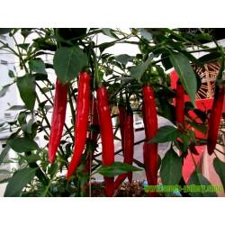 """Semillas de Pimiento Cayena Rojo """"Cayenne Long slim"""""""
