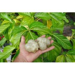 Noni Seme (Morinda citrifolia, Rubiaceae) 1.95 - 5