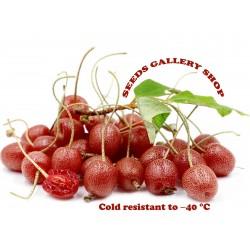 Σπόροι φθινόπωρο-ελιά σκληραγωγημένα -32C 2.45 - 1