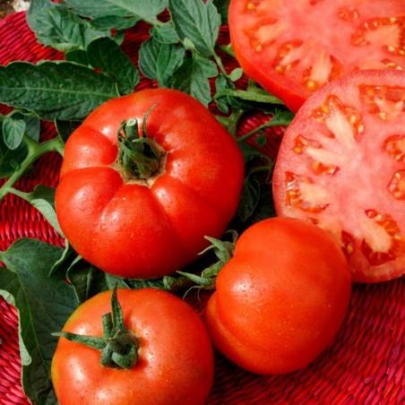 Tomato Seeds Saint Pierre 1.5 - 4
