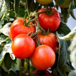 Sementes de tomate Saint Pierre 1.5 - 2