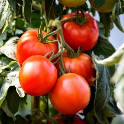 Tomato Seeds Saint Pierre 1.5 - 2