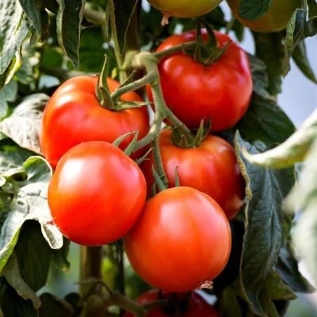 Tomatfrön Saint Pierre 1.5 - 2