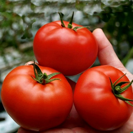 Tomato Seeds Saint Pierre