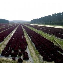 Lettuce Seeds Lollo Rossa Concorde 1.1 - 2