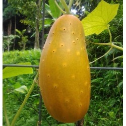 Rare Heirloom HMONG RED Cucumber Seeds 2.05 - 5