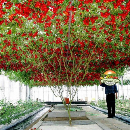 Sementes Gigantes Italiano Árvore de Tomate 5 - 1