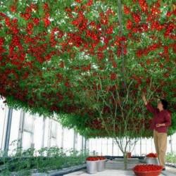 Sementes Gigantes Italiano Árvore de Tomate 5 - 2