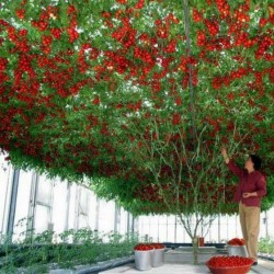 Semillas Gigante italiano de tomate de árbol 5 - 2