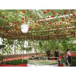 Semillas Gigante italiano de tomate de árbol 5 - 3