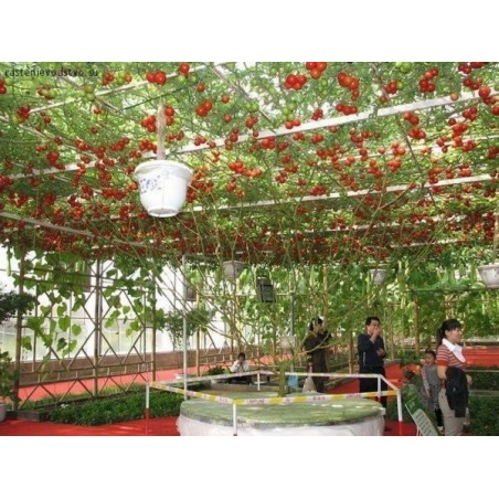 Гигантское итальянское томатное дерево семена 5 - 3