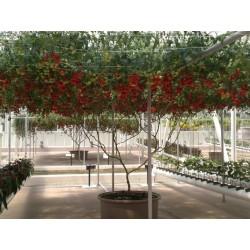 Semillas Gigante italiano de tomate de árbol 5 - 4