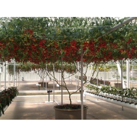 Гигантское итальянское томатное дерево семена 5 - 4
