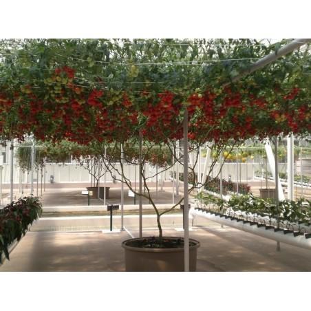 Sementes Gigantes Italiano Árvore de Tomate 5 - 4