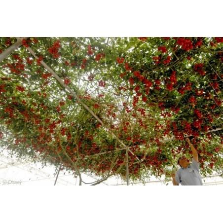 Гигантское итальянское томатное дерево семена 5 - 5