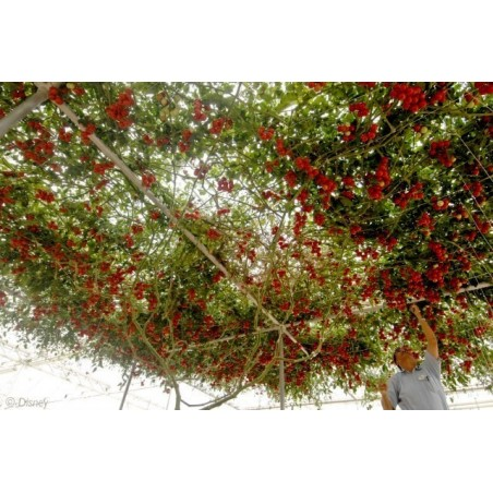 Riesige Italienische Baumtomate Samen 5 - 5