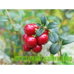 Graines de Cranberry - Canneberge