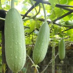 Luffa tvättsvampar Frön (Luffa aegyptiaca) 2.15 - 2