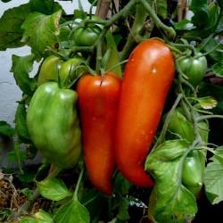 Sementes de tomate JERSEY DEVIL 1.95 - 3