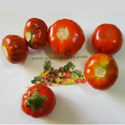 Turkish Orange Eggplant Seeds (Solanum aethiopicum) 1.95 - 2