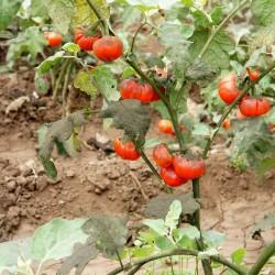 Aubergine Samen TURKISH ORANGE (Solanum aethiopicum) 1.95 - 8