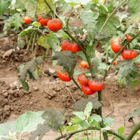 Turski Narandzasti Patlidzan Seme (Solanum aethiopicum) 1.95 - 8