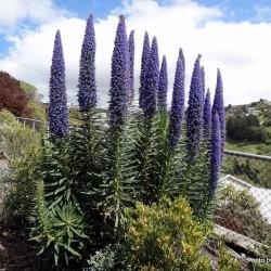 Semillas de Tajinaste Blue Steeple (Echium pininana) 2.5 - 1