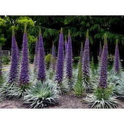 Semillas de Tajinaste Blue Steeple (Echium pininana) 2.5 - 4