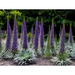 Plavi Toranj Dragulja Seme (Echium pininana) 2.5 - 4