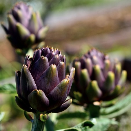 Artischoke Violet de Provence Samen 1.95 - 2