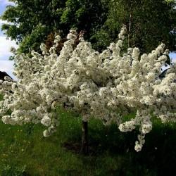 Σπόροι Μήλο Καβούρι Sargent, η Malus sargentii 1.95 - 4