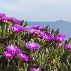 Hottentot-Fig, Ice Plant, Highway Ice Plant Seeds 3 - 2