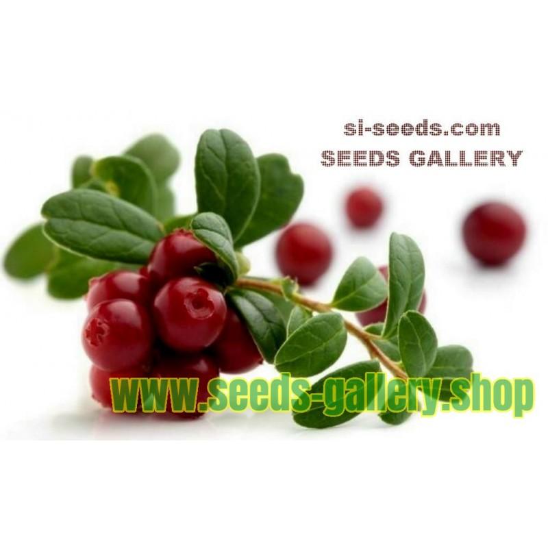 Sementes De Cranberry Vaccinium Macrocarpon